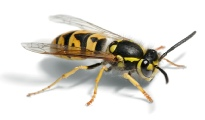 Wasp removal Dover